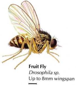 Плодови Мушици (Винарки) Drosophila sp.