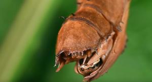 Насекомо с вид на извънземно снася яйцата си по странен начин (видео)