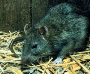Черeн плъх   Rattus rattus