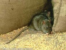Сив плъх   Rattus norvegicus