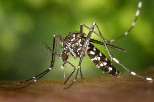 Тигров комар